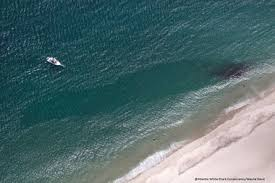 Great White Shark Attack Cape Cod - great white shark eats seal off coast of cape cod photos