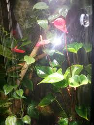 houseplants how can i keep my flamingo plants small for a