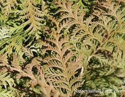 cypress false hinoki trees for sale kinsey family farm