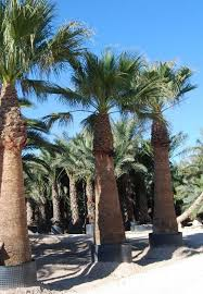 buy cold hardy palm trees california fan palm wholesale plant