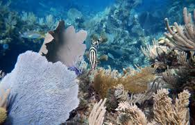 Coral Reefs Of The World Map by Big Fish U2014 And Their U2014 Are Key Parts Of Coral Reef Ecosystems