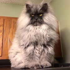 Colonel Meow Memes - meet juno but wait this cat reminds us of colonel meow