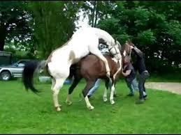 mustangs mating mating horses mating acasalamento cavalo