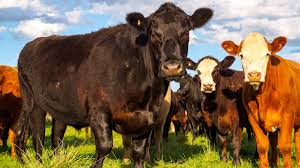 bbc radio 4 analysis killing cows
