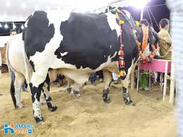 black and white bull from cattle farm bakra eid images u0026 photos