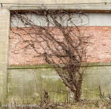 poison ivy in winter the poison ivy poison oak poison sumac site