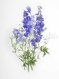 delphinium flowers flowers