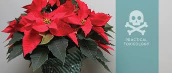 christmas plants practical toxicology christmas plants hazards history and