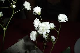 baby s breath flower baby s breath flower pictures meanings