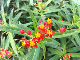 native mexican plants got milkweed updated plant guide for central and south texas