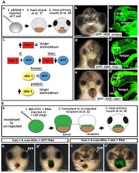 the wnt antagonists frzb 1 and crescent locally regulate basement