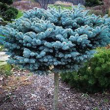 globe blue spruce tree evergreen trees blue spruce