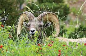 Hungry Bears Perishing On Western Montana Highways Local - the bighorn sheep who was youtube famous outside online