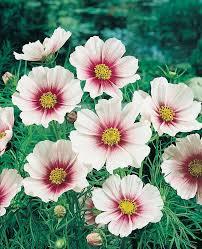 Plant Flower Garden - best 25 cosmos flowers ideas on pinterest cosmos flower