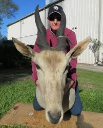 wholesale suppliers for home decor bull eland shoulder mount price reduced taxidermy home decor