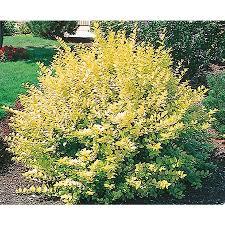 shop 2 gallon white golden vicary privet foundation hedge shrub