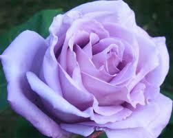 blue moon climbing rose fragrant