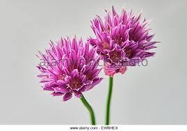 Purple Carnations Purple Carnation Stock Photos U0026 Purple Carnation Stock Images Alamy