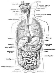 A Picture Of The Human Anatomy Human Digestive System Wikipedia
