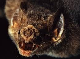 rare video vampire bats feed on baby penguins u2013 national