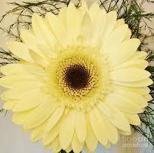 spiral gerber daisy photograph by marsha heiken