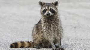 raccoon road ngsversion 1396530745521 jpg