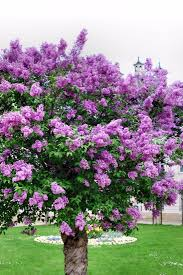 Lilca by Best 25 Lilac Tree Ideas On Pinterest Lilac Plant Lilac Bushes