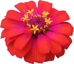 Zinnia Flower Free Photo Red Nature Zinnia Flower Flowers Isolated Max Pixel