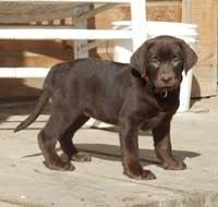 michigan dogs sale puppies cats kittens u0026 exotic pets