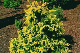 Small Shrubs For Front Yard - top 10 dwarf conifers small space gardening birds and blooms