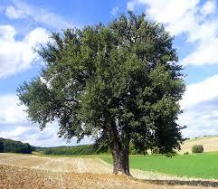 tree wiktionary