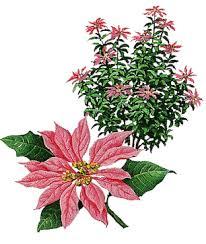 Pointsettia Poisonous Poinsettias