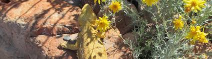 bearded dragons sale atomic lizard ranch