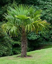 windmill palm tree cold hardy palm trees for sale fast growing