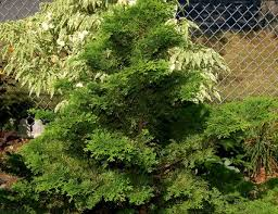 Evergreen Landscaping Ideas Dwarf Trees Are Ideal Choices For Small Yard Design
