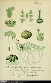 botanical sts 10 best plants images on botany aquaponics and aquarium