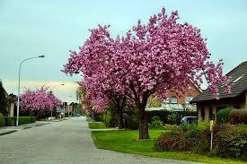 free photo ornamental cherry road tree free image on pixabay