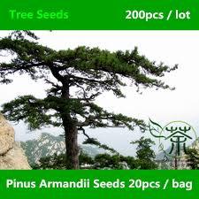 landscape tree pinus armandii seeds 200pcs ornamental plant