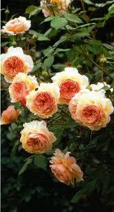 79 best rose hacks images on pinterest david austin roses