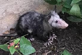 opossum hashtag on twitter