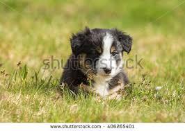 australian shepherd 7 weeks cute puppy lying grass field stock photo 614753489 shutterstock