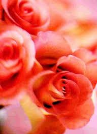 Fragrant Rose Plants - best 25 fragrant roses ideas on pinterest david austin roses