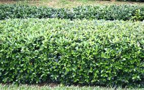landscape shrubs u2013 simplir me