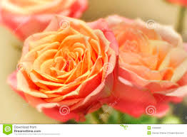 Colored Roses Peach Colored Roses Stock Photography Image 13230602
