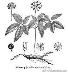 american ginseng u2013 old book illustrations