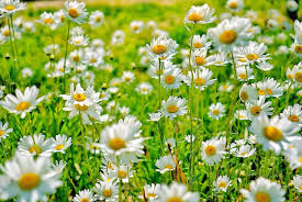 things you didn u0027t know about daisies daisy fun facts