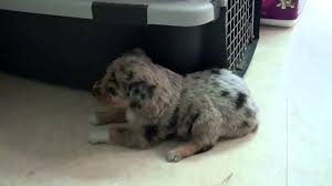 australian shepherd puppy 2 months mini aussie blue merle female 4 weeks and 4 and 1 2 months youtube