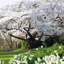 ornamental cherry tree yahoo search results outdoors