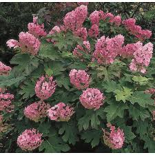 low light outdoor plants shop shrubs at lowes com
