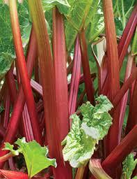 yard and garden properly planting and harvesting rhubarb iowa